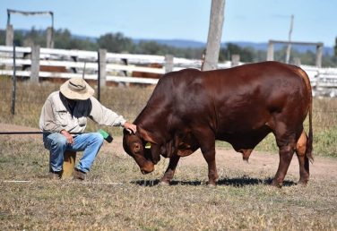 2020 DROUGHTMASTER NATIONAL SALE | Billabong Bulls